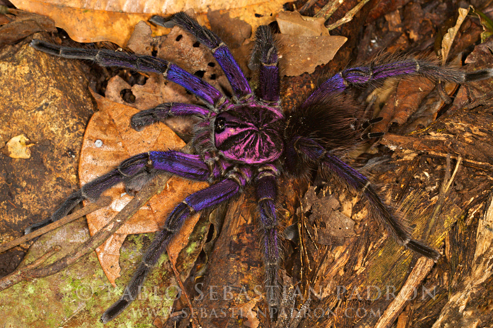 Lycosidae - Ecuador