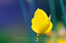 Spartium junceum - Ecuador