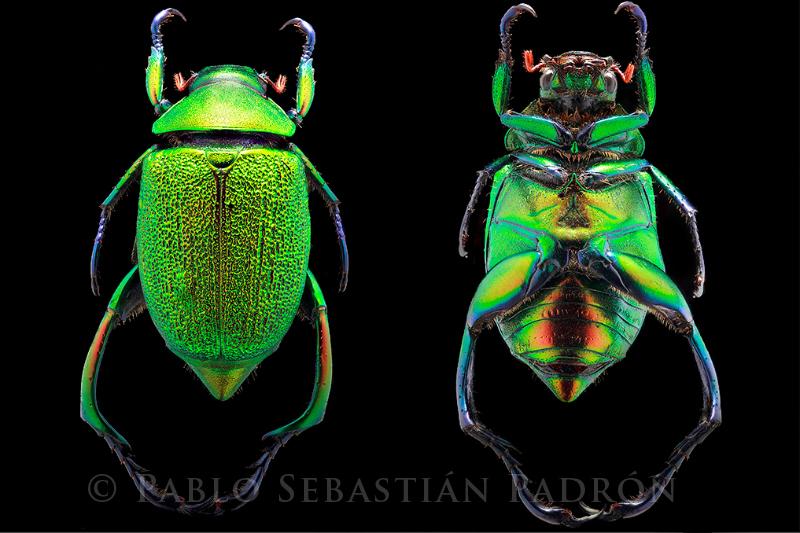 Chrysophora chrysochlora- Ecuador