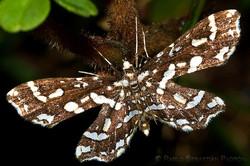 Moth - Ecuador