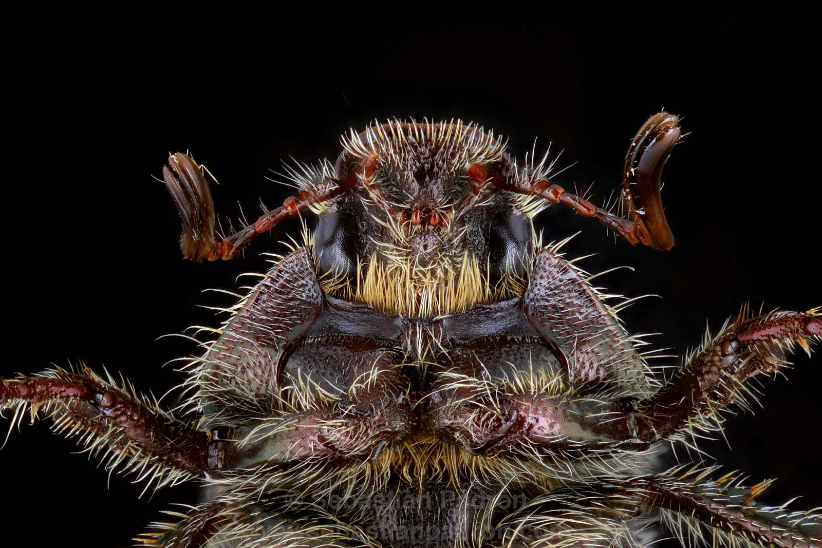 Scarabaeidae