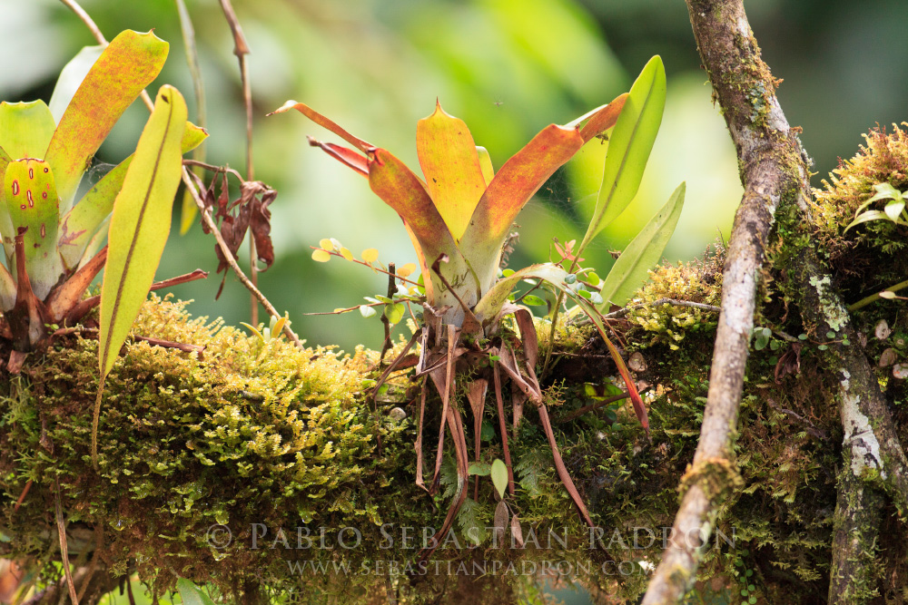 Bromelia 2 - Ecuador