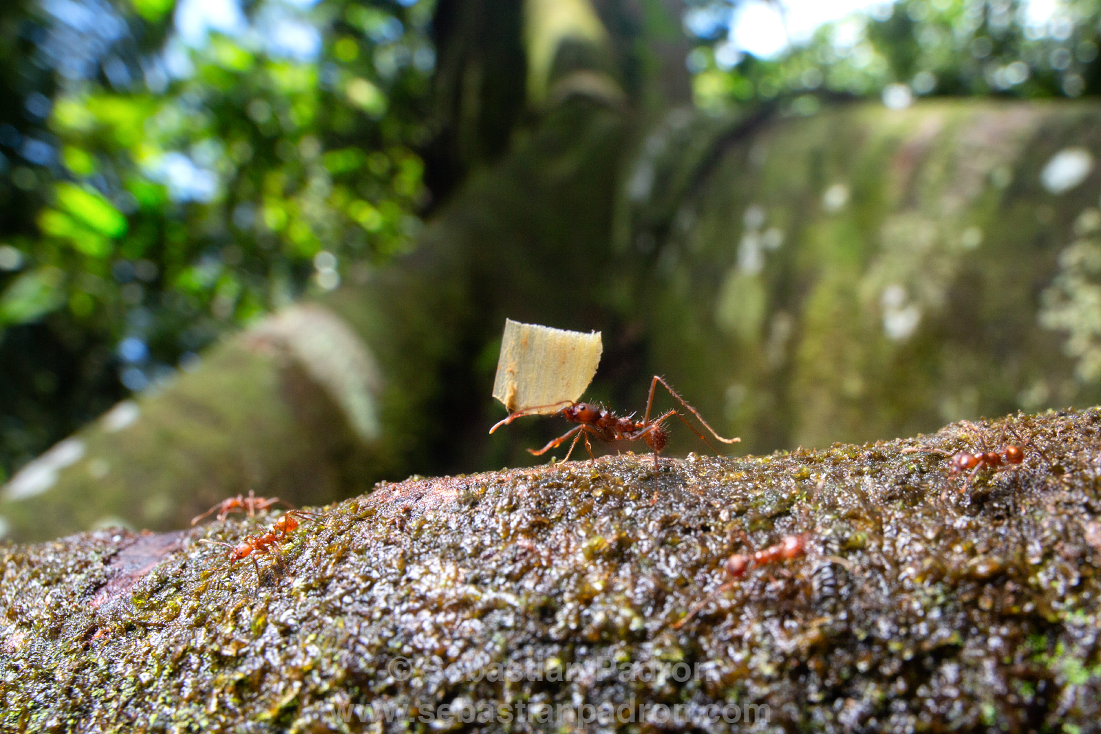 Hormigas cortadoras de Hojas Atta