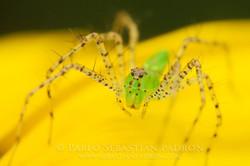 Oxyopidae - USA