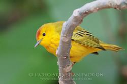 Paruline jaune - Ecuador