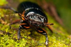 Passalidae 1 - Ecuador