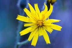 Flower 7 Ecuador