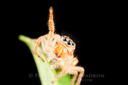 Salticidae 7 - Ecuador