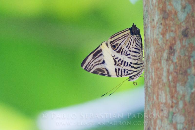 Colobura dirce - Ecuador