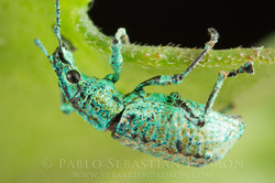 Curculionidae 7 - Ecuador