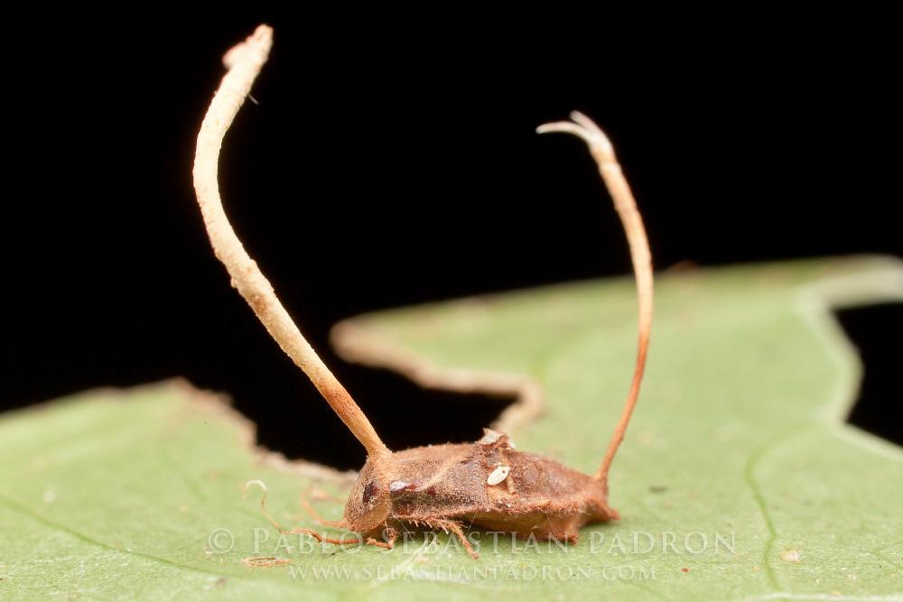 Ophiocordyceps 6- Ecuador