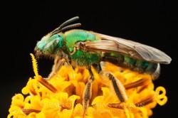Halticidae 2 - USA