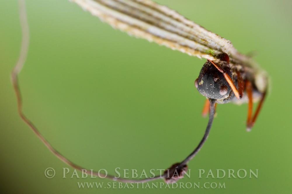 Ophiocordyceps 7- Ecuador