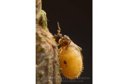 Ceratopogonidae 1 - Ecuador