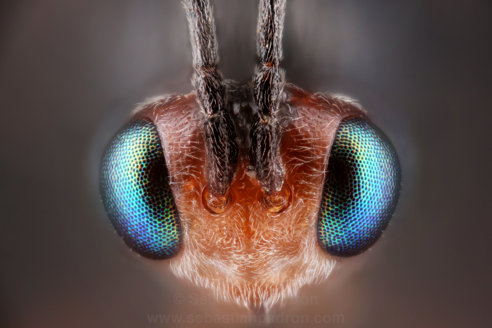 Dinocampus coccinella