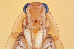 Blattidae USA