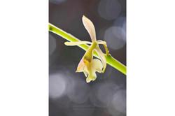 Epidendrum ?