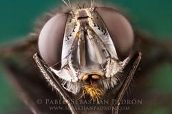 Tachinidae 2  - Ecuador