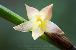 Orchidaceae 11 -  Ecuador