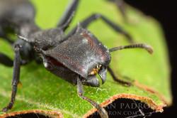 Cephalotes sp. 2 - Ecuador