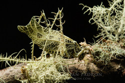 Lichenodraculus matti  2 Ecuador