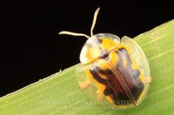 Cassidinae  -  USA