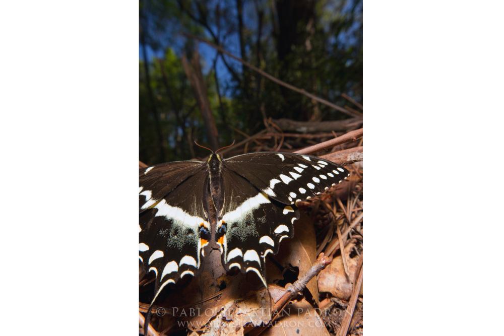Papilionidae 4- USA