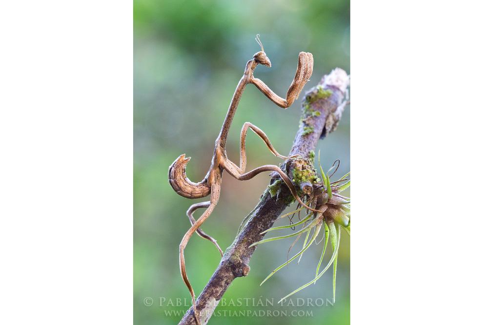 Mantis 4 Ecuador