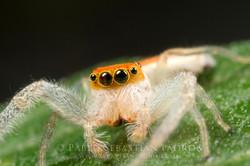 Salticidae 3 - USA