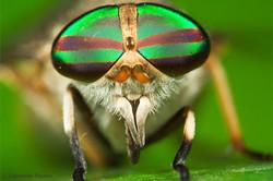 Tabanidae 1 - Ecuador