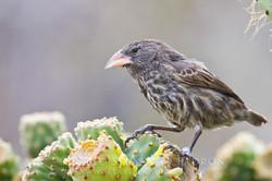Platyspiza crassirostris - Ecuador