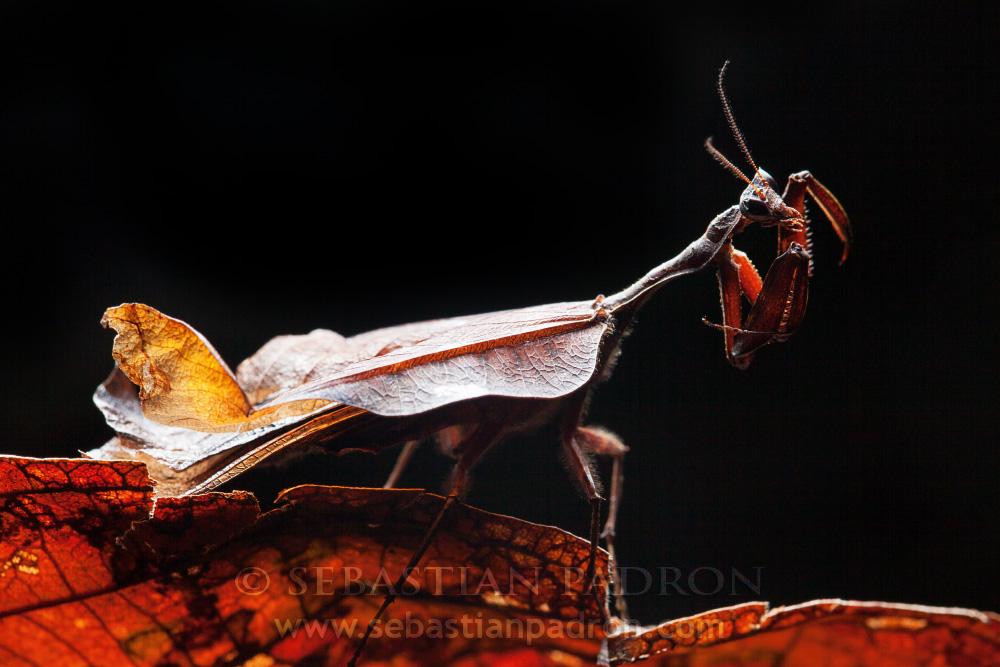 Acanthops sp.  - Ecuador