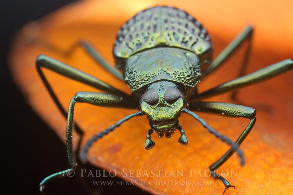 Erotylidae - Ecuador