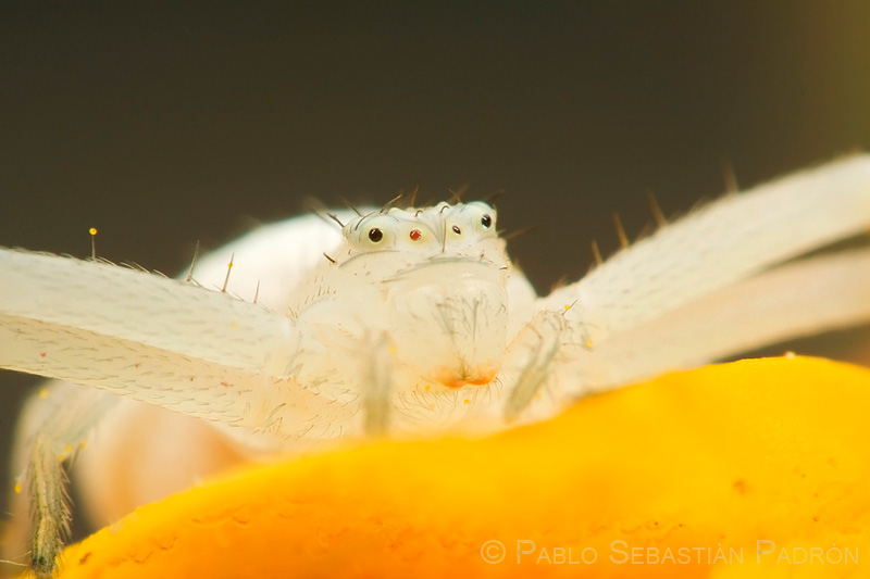 Thomisidae - USA