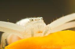 Thomisidae - USA