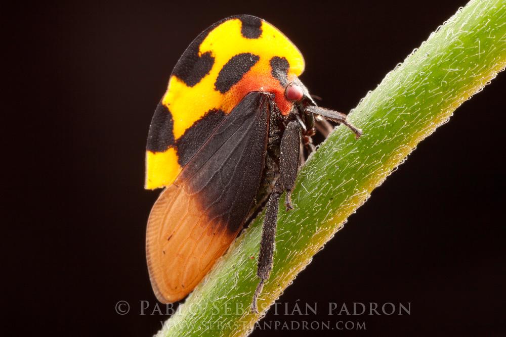 Membracis sp. Ecuador