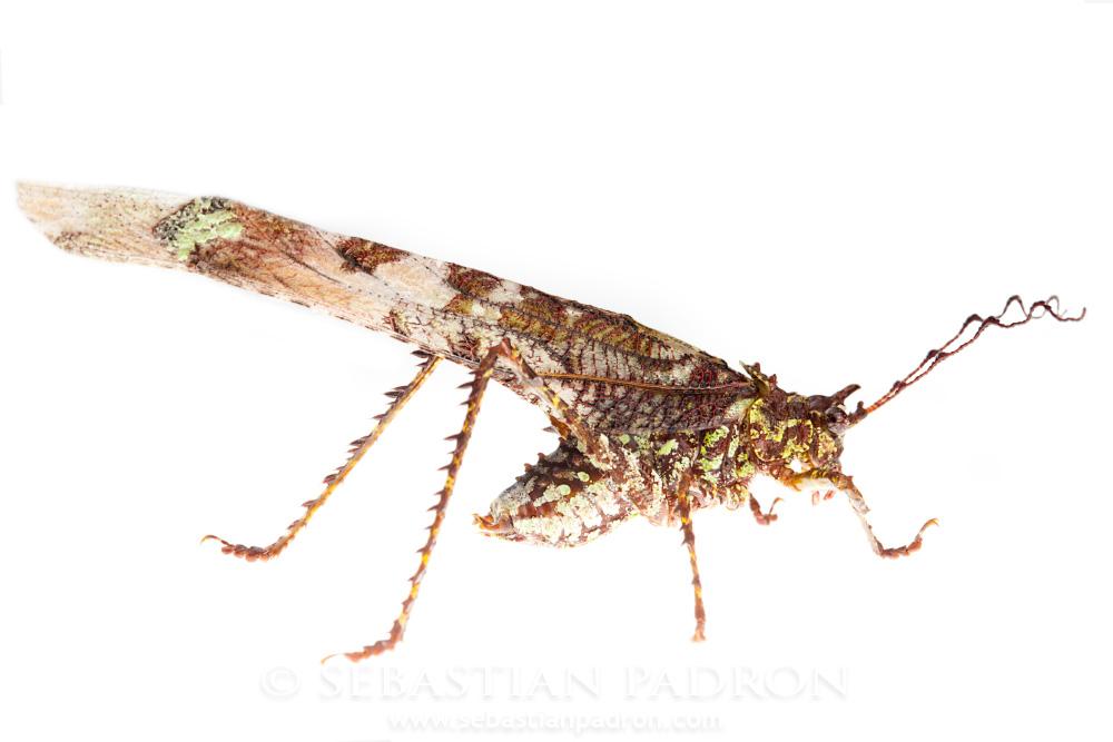 Paraphidnia sp.