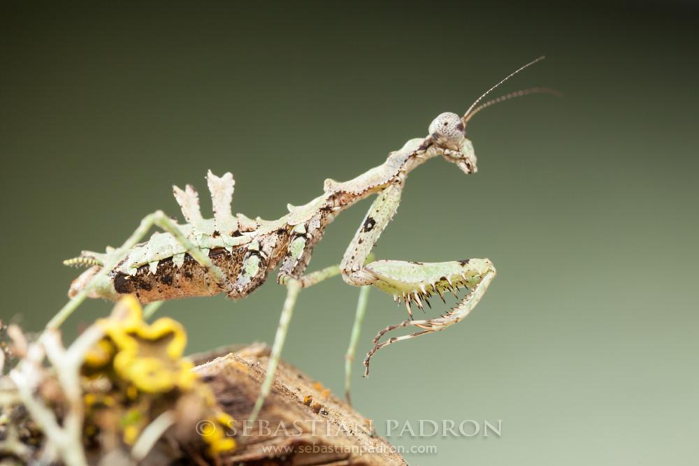 Pseudopogonogaster sp 3 Ecuador