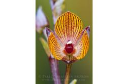 Orchidaceae 8 -  Ecuador