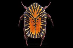 Gymnetis stellata