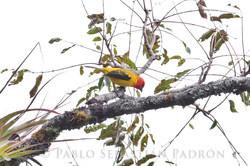 Piranga rubriceps - Ecuador