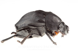 Deltochilum sp.