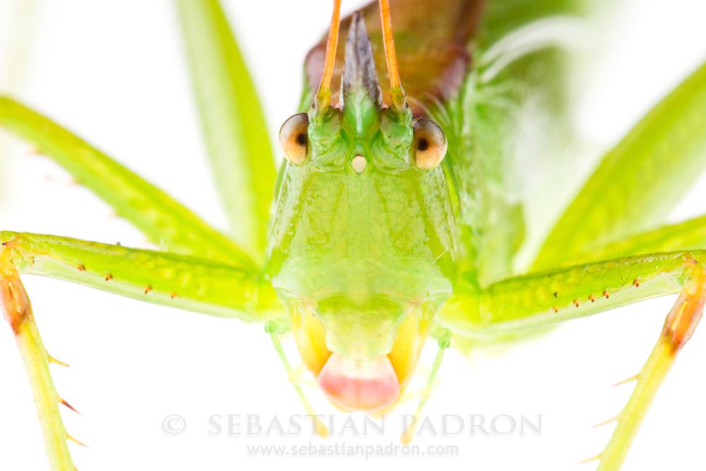 Neoconocephalus sp