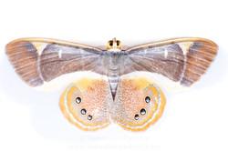 Opisthoxia archidiaria