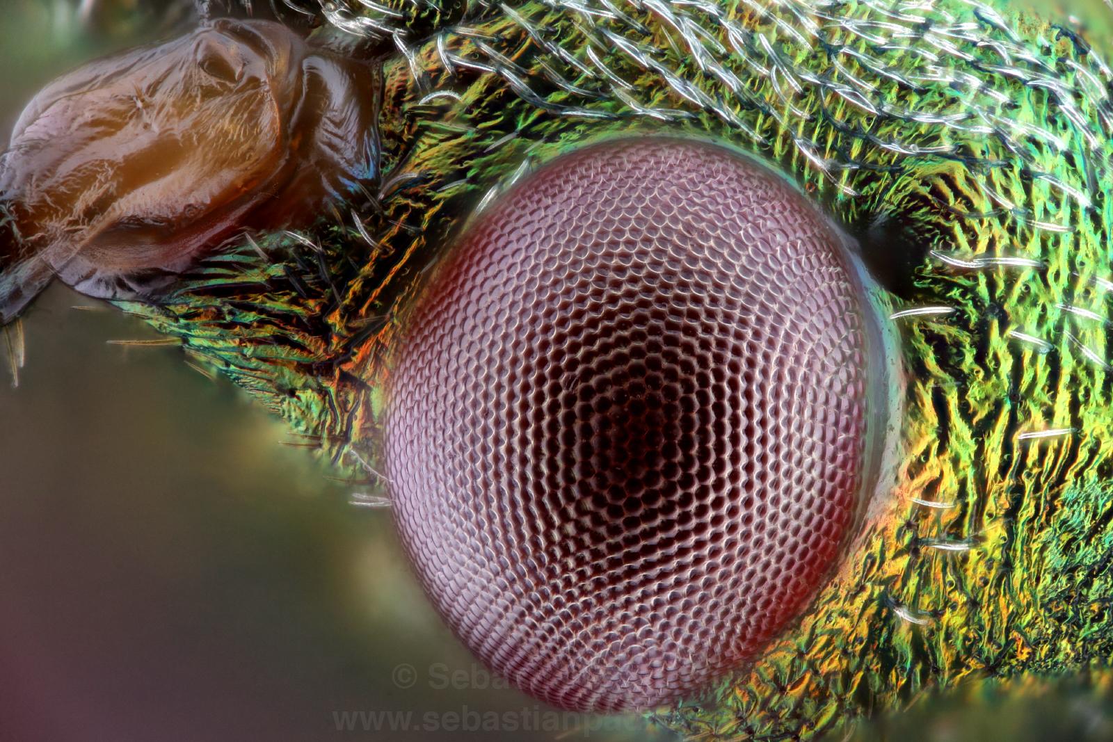 Paryphes flavocinctus