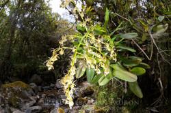Orchidaceae 4 -  Ecuador