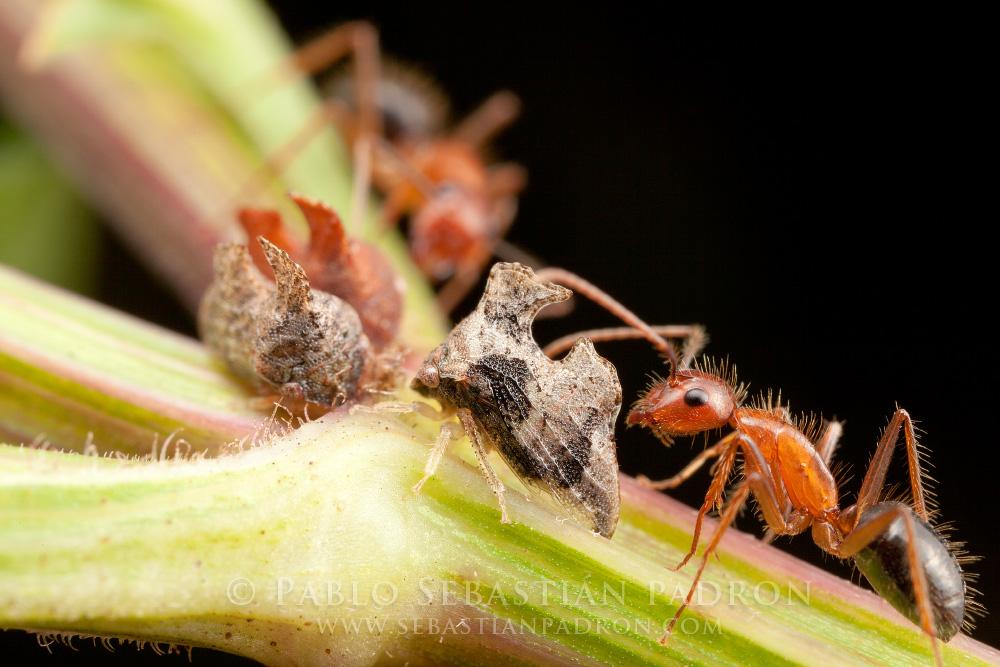 Membracidae Gainesville Fl