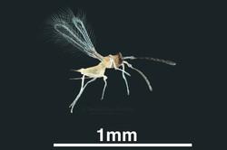 Mymaridae