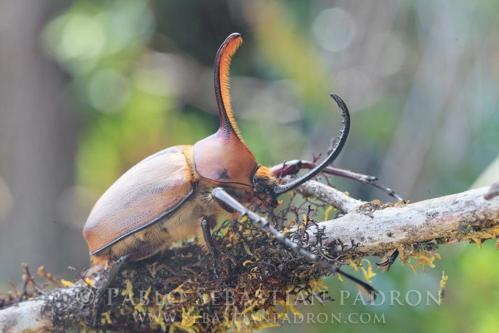 Golopha aegeon 2 - Ecuador
