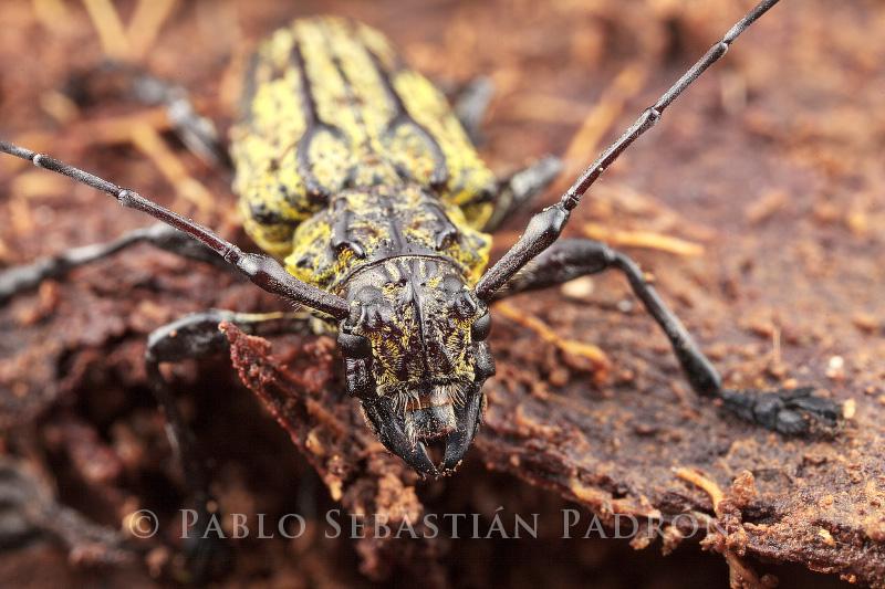 Cerambycidae 8 - Ecuador